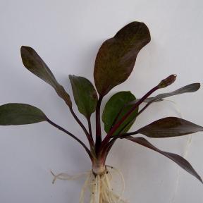 echinodorus-red-flame