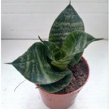 succulent sansveria plante intérieure