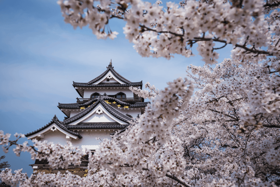 Cherry blossoms in spring at Hikone Castle, on the shores of Lake Biwa, Shiga Prefecture, Japan