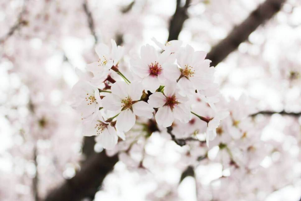 Up-close photo of cherry blossoms (sakura) in spring