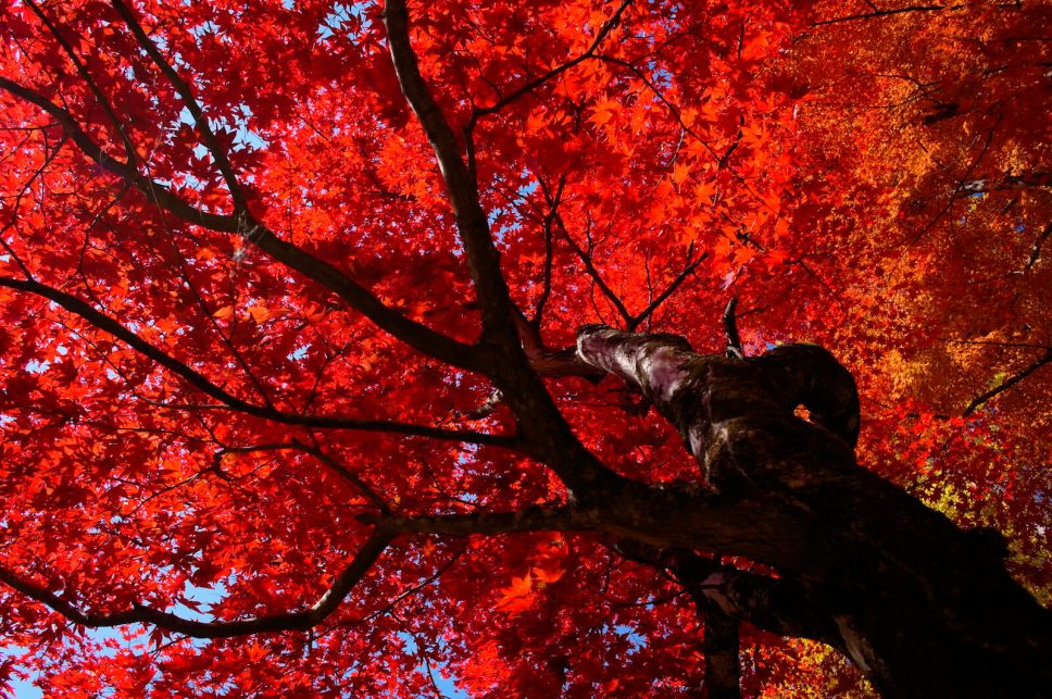 Red maple leaves in Inabu, Aichi Prefecture, Japan