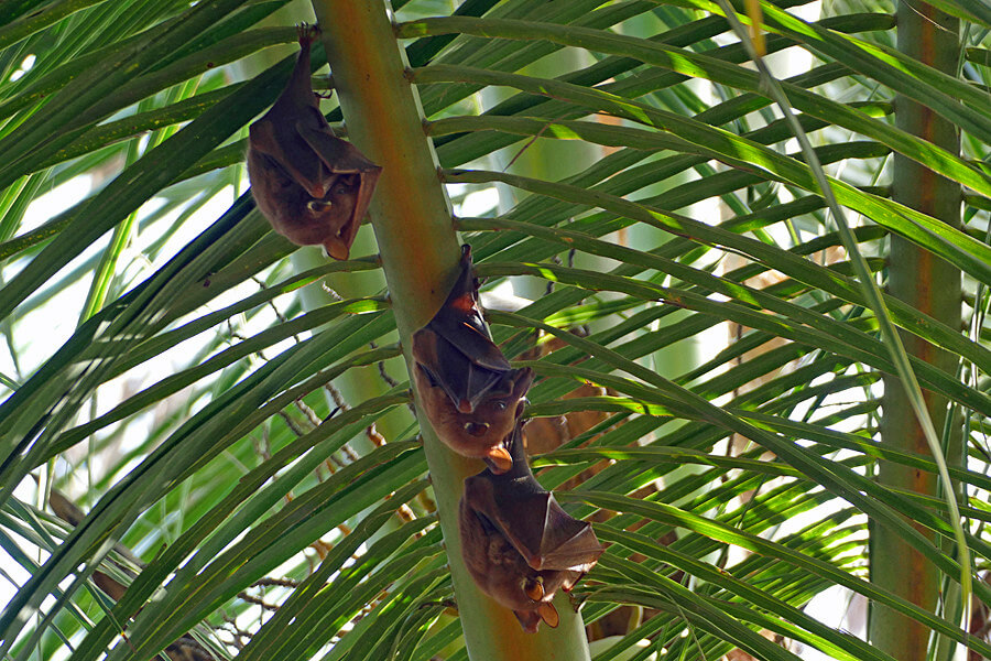 Bats sleeping under a palm leaf at Mandina Lodges, The Gambia