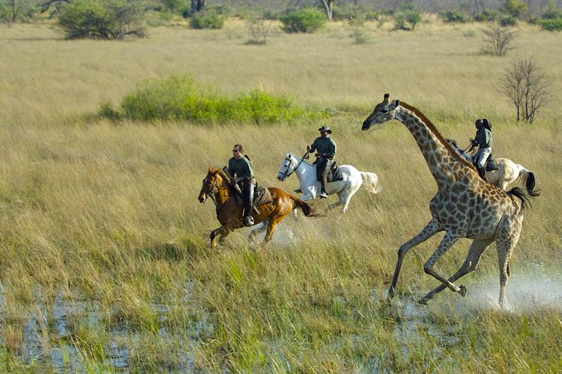 Okavango Delta Giraffe canter