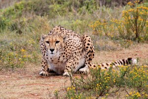 Cheetah, found across most of Africa