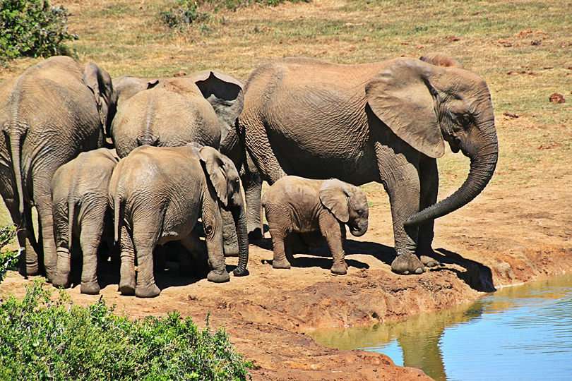 Elephants visiting a watering hole, South Africa