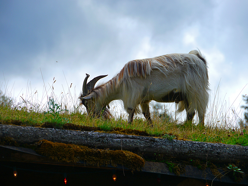 Goat Roof Vancouver Island