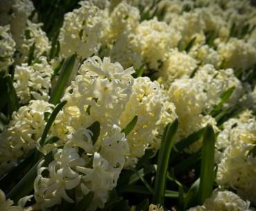 Les jolies tulipes de Hollande