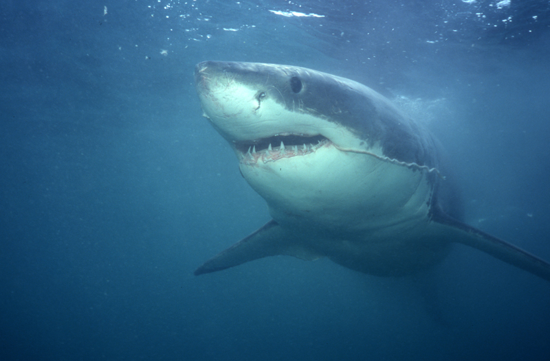 Great white shark trailing entrail-Gansbaai, South Africa