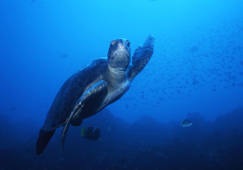 Green turtle waving-Wolf Island, Galapagos