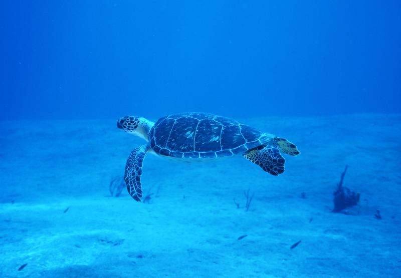 Hawksbill turtle over sand-Saba
