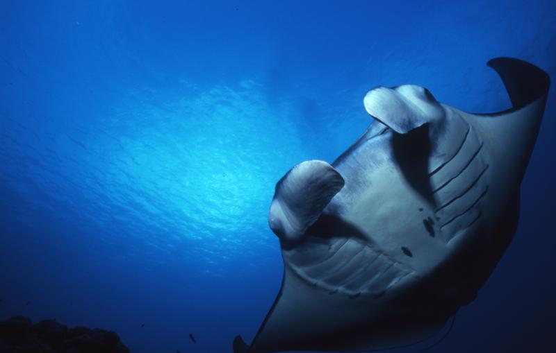 Manta ray-Yap, Micronesia
