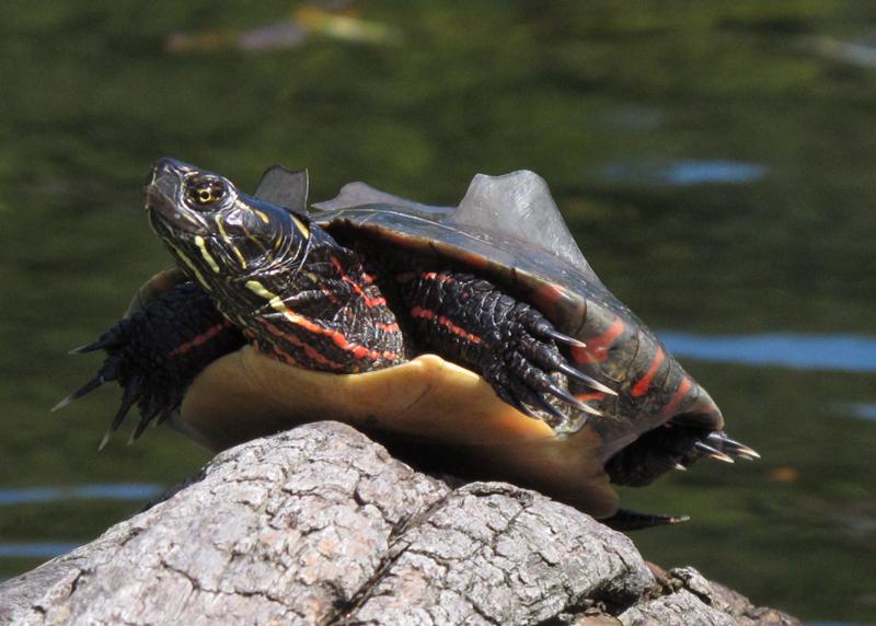 Midland painted turtle (dig)-Ontario