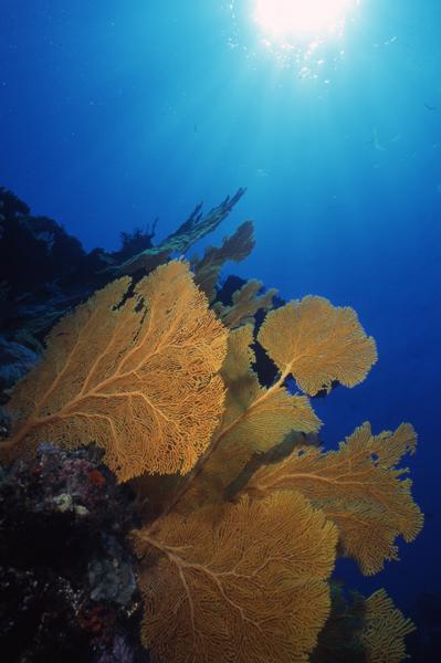 Sea fans & sun-Coral Sea, Australia