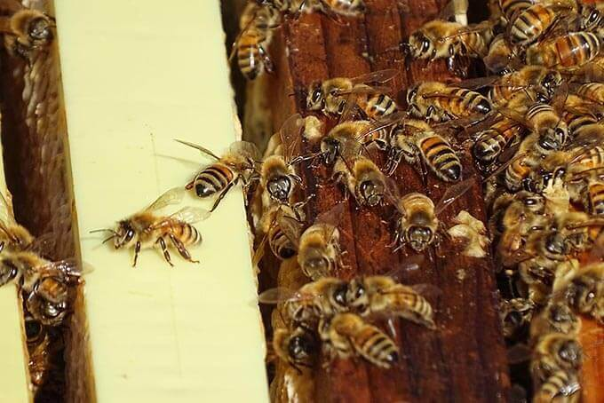 A swarm of honey bees in a hive.