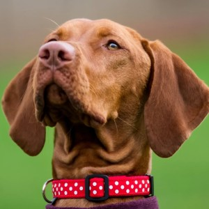Red Polka Dot Collar for your dog