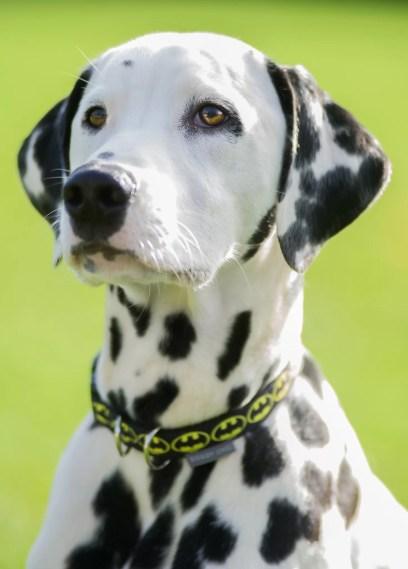 Batman Collar for your dog