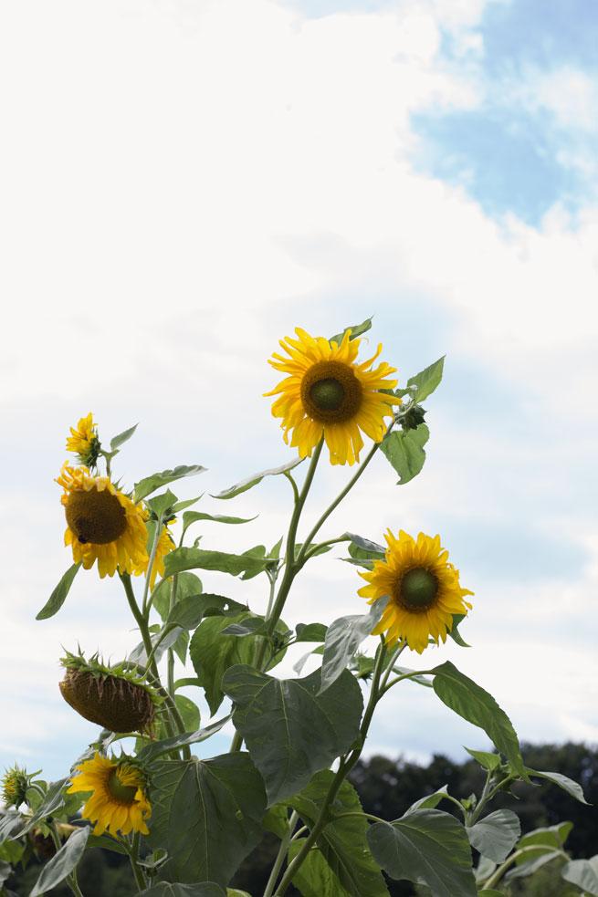 sunflowers slovenia