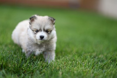 8weeks-bowtiepomsky.com-Puppy-Pomsky-Pomskies-for-sale-Pomsky-breeder-Spokane-WA(2)