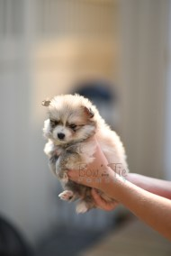 8weeks-bowtiepomsky.com-Puppy-Pomsky-Pomskies-for-sale-Pomsky-breeder-Spokane-WA(3)