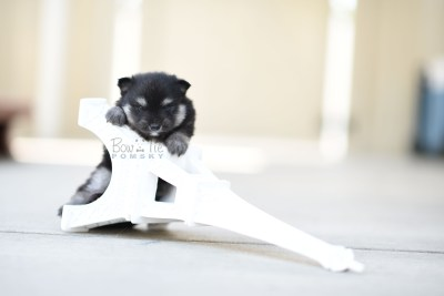 bowtiepomsky.com Puppy Pomsky Pomskies for sale breeder Spokane WA Pooper (3)