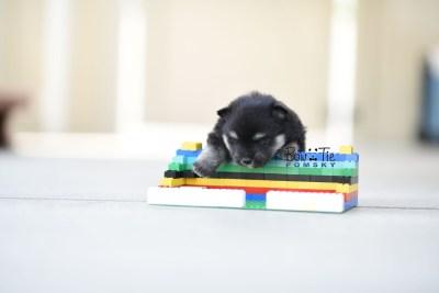 bowtiepomsky.com Puppy Pomsky Pomskies for sale breeder Spokane WA Pooper (6)
