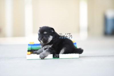 bowtiepomsky.com Puppy Pomsky Pomskies for sale breeder Spokane WA Pooper (7)