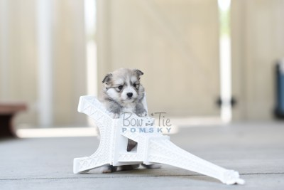 bowtiepomsky.com Puppy Pomsky Pomskies for sale breeder Spokane WA Troble (1)