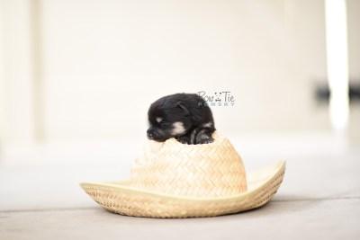 bowtiepomsky.com pomsky pomskies puppy for sale puppies cute fluffy adorable breeder spokane wa designer  (11)