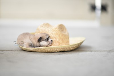 bowtiepomsky.com pomsky pomskies puppy for sale puppies cute fluffy adorable breeder spokane wa designer  (13)