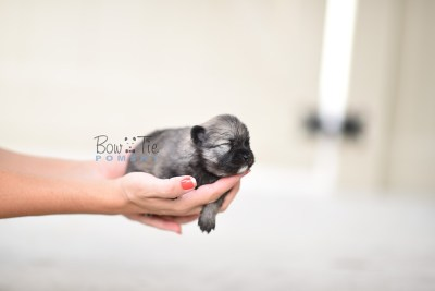 bowtiepomsky.com pomsky pomskies puppy for sale puppies cute fluffy adorable breeder spokane wa designer  (5)