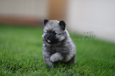 puppy-2-bowtiepomsky.com-Puppy-Pomsky-Pomskies-for-sale-breeder-Spokane-WA(1)