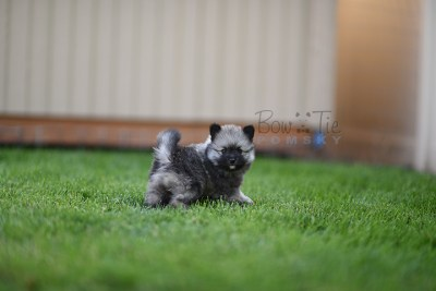 puppy-2-bowtiepomsky.com-Puppy-Pomsky-Pomskies-for-sale-breeder-Spokane-WA(3)