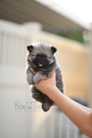 puppy-2-bowtiepomsky.com-Puppy-Pomsky-Pomskies-for-sale-breeder-Spokane-WA(4)