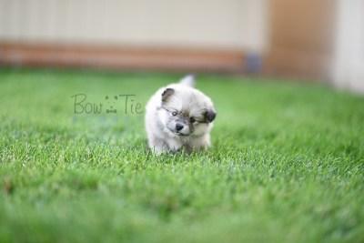 puppy-3-bowtiepomsky.com-Puppy-Pomsky-Pomskies-for-sale-breeder-Spokane-WA(1)