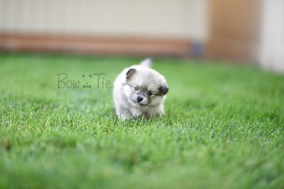 puppy-3-bowtiepomsky.com-Puppy-Pomsky-Pomskies-for-sale-breeder-Spokane-WA(1)