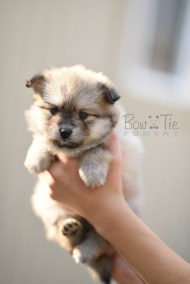 puppy-3-bowtiepomsky.com-Puppy-Pomsky-Pomskies-for-sale-breeder-Spokane-WA(3)