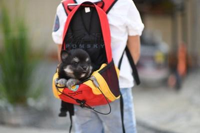puppy-4-bowtiepomsky.com-Puppy-Pomsky-Pomskies-for-sale-breeder-Spokane-WA(3)