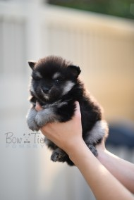 puppy-4-bowtiepomsky.com-Puppy-Pomsky-Pomskies-for-sale-breeder-Spokane-WA(4)