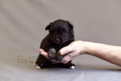puppy10 BowTiePomsky.com Bowtie Pomsky Puppy For Sale Husky Pomeranian Mini Dog Spokane WA Breeder Blue Eyes Pomskies photo12