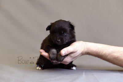 puppy10 BowTiePomsky.com Bowtie Pomsky Puppy For Sale Husky Pomeranian Mini Dog Spokane WA Breeder Blue Eyes Pomskies photo12