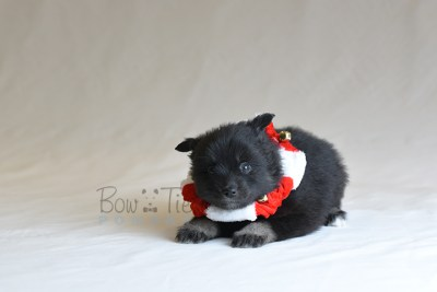puppy10 BowTiePomsky.com Bowtie Pomsky Puppy For Sale Husky Pomeranian Mini Dog Spokane WA Breeder Blue Eyes Pomskies photo35