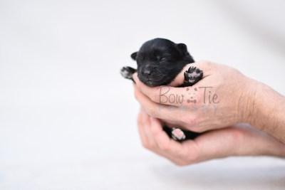 puppy10 BowTiePomsky.com Bowtie Pomsky Puppy For Sale Husky Pomeranian Mini Dog Spokane WA Breeder Blue Eyes Pomskies photo5