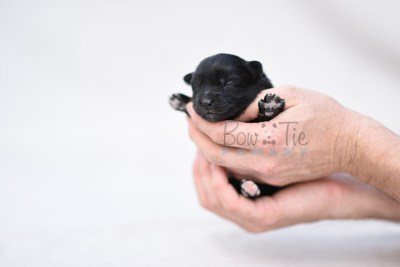 puppy10 BowTiePomsky.com Bowtie Pomsky Puppy For Sale Husky Pomeranian Mini Dog Spokane WA Breeder Blue Eyes Pomskies photo5
