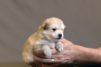 puppy11 BowTiePomsky.com Bowtie Pomsky Puppy For Sale Husky Pomeranian Mini Dog Spokane WA Breeder Blue Eyes Pomskies photo11