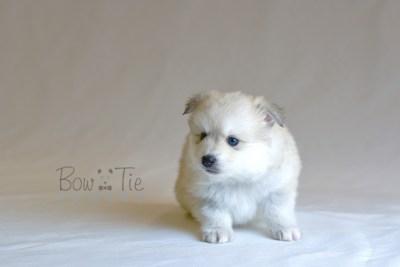 puppy11 BowTiePomsky.com Bowtie Pomsky Puppy For Sale Husky Pomeranian Mini Dog Spokane WA Breeder Blue Eyes Pomskies photo35