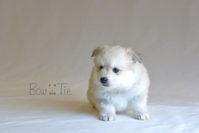 puppy11 BowTiePomsky.com Bowtie Pomsky Puppy For Sale Husky Pomeranian Mini Dog Spokane WA Breeder Blue Eyes Pomskies photo35