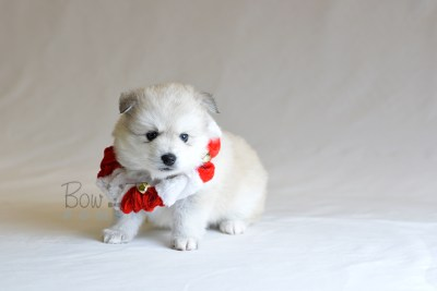 puppy11 BowTiePomsky.com Bowtie Pomsky Puppy For Sale Husky Pomeranian Mini Dog Spokane WA Breeder Blue Eyes Pomskies photo41