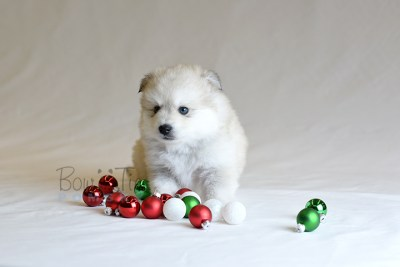puppy11 BowTiePomsky.com Bowtie Pomsky Puppy For Sale Husky Pomeranian Mini Dog Spokane WA Breeder Blue Eyes Pomskies photo44