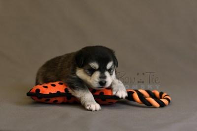 puppy12 BowTiePomsky.com Bowtie Pomsky Puppy For Sale Husky Pomeranian Mini Dog Spokane WA Breeder Blue Eyes Pomskies photo17