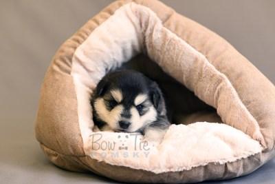 puppy12 BowTiePomsky.com Bowtie Pomsky Puppy For Sale Husky Pomeranian Mini Dog Spokane WA Breeder Blue Eyes Pomskies photo27